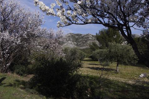 Les Alpilles, cerisiers et amandiers