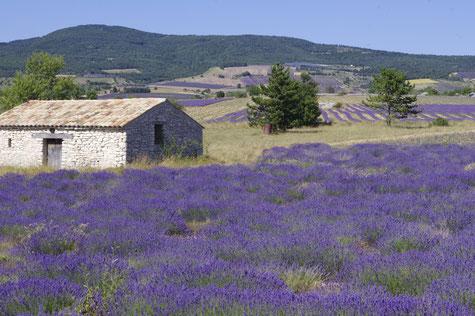 Die Hügeln mit lavendel Feldern versäumt.