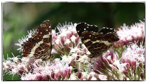Wasserdost,Schmetterling, Landkärtchen