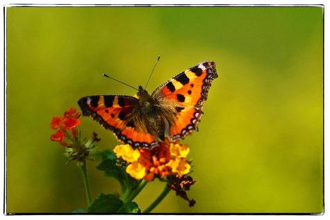 Großer Fuchs,Schmetterling,