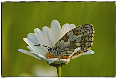 Margerite,Schmetterling, Schachbrettfalter