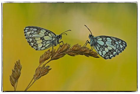Schachbrettfalter,Schmetterling, Gasähre, Rarität