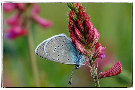 Schmetterlinge,Schutz,Blüte, Zwergbläuling, Esparsette