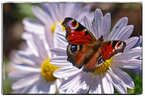 "Schmetterling, Tagpfauenauge, Blüte,Herbstaster,""Tankstelle"""