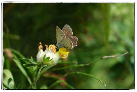 Zwergbläuling,Geschwänzter Bläuling,Schmetterling, Blüte, Hornklee,