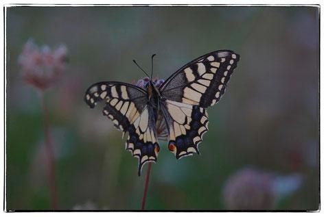Schwalbenschwanz,Schmetterling