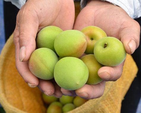 紀州みなべ名物「ご縁梅」に使う南高青梅は紀州梅苑の店主である坂本がつくっています。