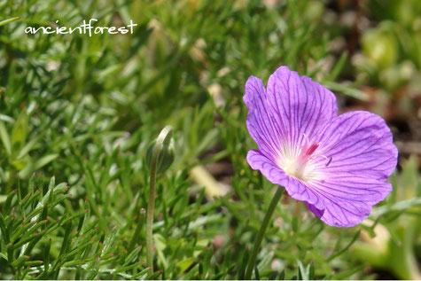 ゼラニウム Geranium incanum Amarabossie