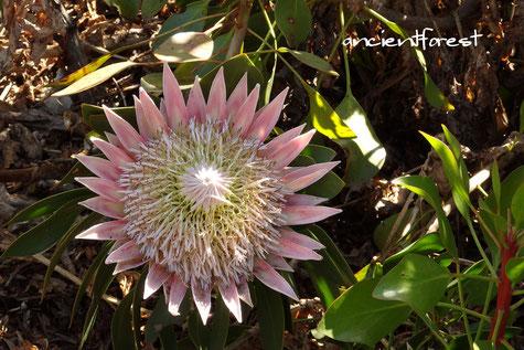 キングプロテア protea cynaroides King protea