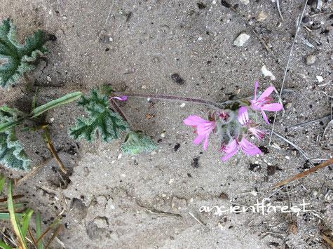 ペラルゴニウム Pelargonium capitatum Kusmalva かな?