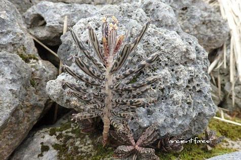 石垣島 白保集落のサンゴの石垣に育つキンチョウ