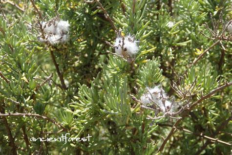 ワイルドローズマリー Eriocephalus racemosus, Kappokie