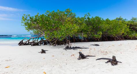 Marine Iguanas at the beach in Galapagos