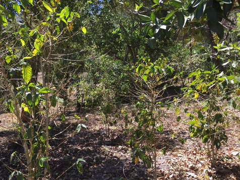 Von der Roya befallene Kaffeepflanzungen (Foto: Guillermo Belloso)