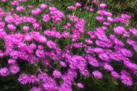 松葉菊のピンクは見ているだけでテンションが上がる気がします。