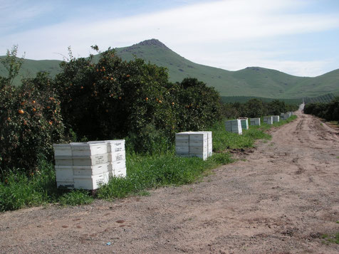 The apiary in orange orchards