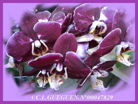Un autre Phalaenopsis de couleur bordeaux