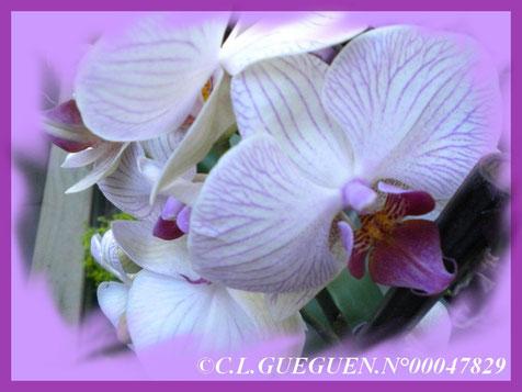 Un autre Phalaenopsis