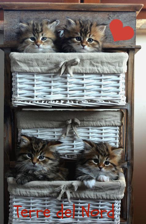 allevamento gatto siberiano ipoallergenico