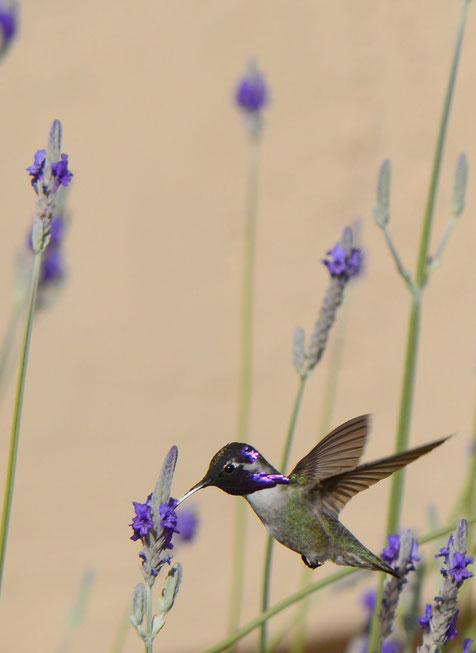 male Costa's hummingbird and Lavandula multifida