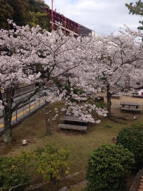 須磨浦は満開ではありませんでしたがいい咲きっぷりでございました。