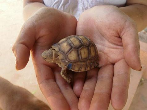 bébé tortue environ 1 an