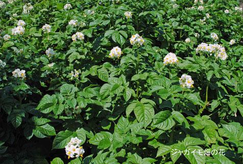 ジャガイモ畑の花