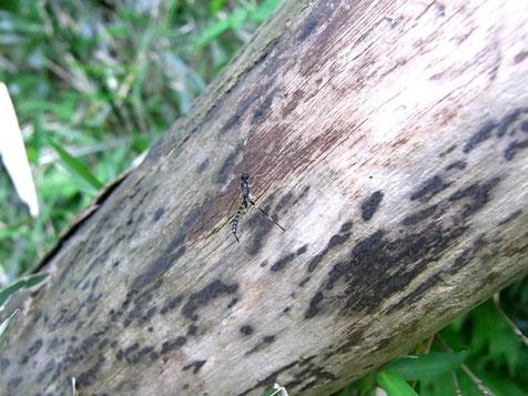 シロスジクチキヒメバチ Eugalta albimarginalis (Uchida, 1928)