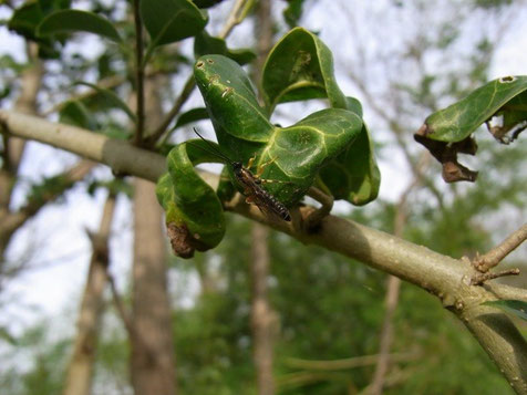 サクサンフシヒメバチ Gregopimpla himalayensis (Cameron, 1899) ♂  [ヒラタヒメバチ亜科]