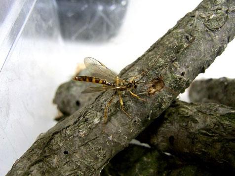 オオホシオナガバチ Megarhyssa praecellens (Tosquinet, 1889) ♂