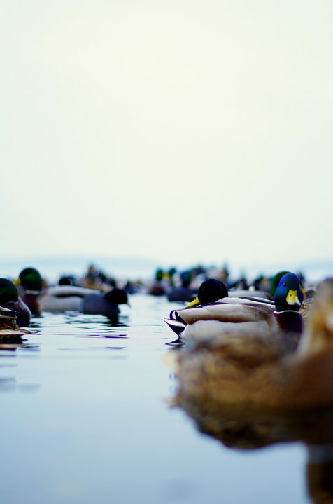 Ducks On Wannsee I