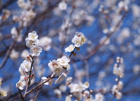 2月18日(2017) 春を待つツグミⅡ:野川公園・自然観察園の中で、日が落ちる方角を見つめていました(2月16日)