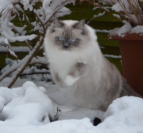 Blue point mitted Ragdoll