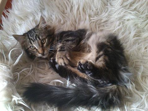 Alisèe von La Lea Lil, Norwegische Waldkatze, blacktabby-classic, Amberträger, 4 Monate alt