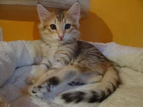 Belina von La- Lea- Lil, Norwegische Waldkatze, amber-tabby-spotted, 1 Jahr alt