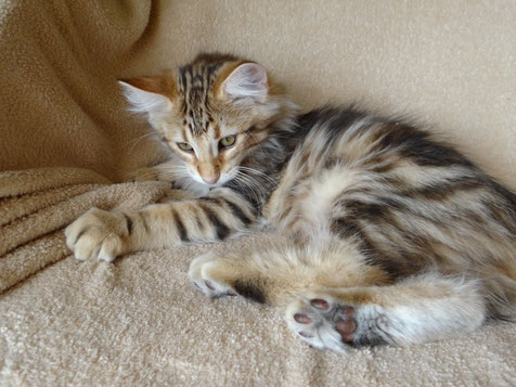 Basti von La- Lea- Lil, Norwegische Waldkatze, amber-tabby-classic, 12 Wochen alt