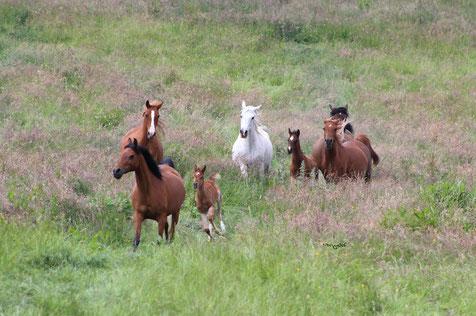 Nephrim Arabians
