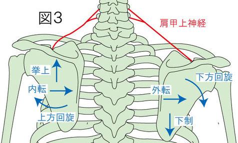 肩甲上神経と肩甲骨の動きとの関係