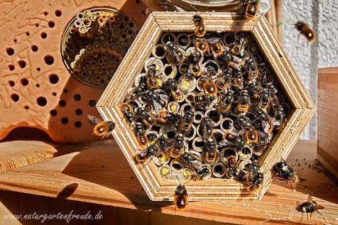 Insektenhotel Insektennisthilfe Nisthilfe nesting aid insect hotel bug house Pappröhrchen Gehörnte Mauerbiene Osmia cornuta hornfaced bee Männchen male