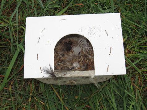 Blick auf die Reste eines  Mehlschwalbennestes