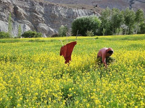 Ladakhische Bauersfrau auf dem Feld. Foto: Peter Senger