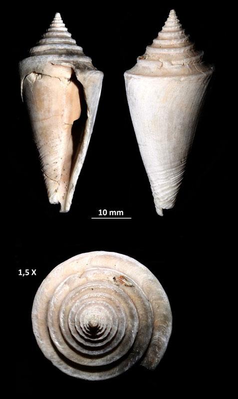 Conus antidiluvianus, Vignola (MO), Pliocene