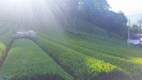 川根 静岡県 有機栽培茶 樽脇園 普通煎茶 無農薬 無化学肥料 オーガニック 山のお茶 一番茶収穫