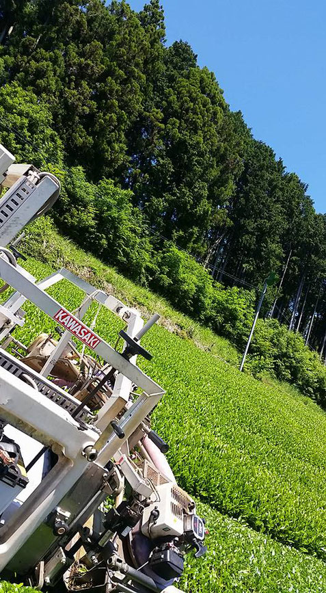 川根 静岡県 有機栽培茶 樽脇園 普通煎茶 無農薬 無化学肥料 オーガニック 山のお茶 一番茶の収穫