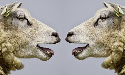 Kommunikation unter Schafe