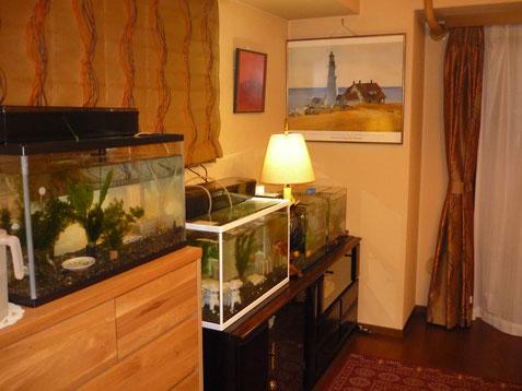 水槽のある部屋 金魚たち