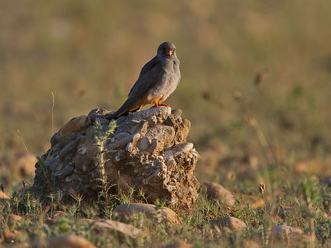 Faucon kobez, Falco vespertinus
