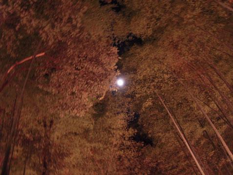 京都 嵐山 花灯路にて 竹林と月 H23.12.9
