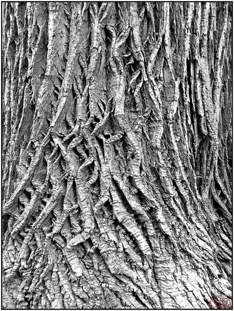 chestnut bark
