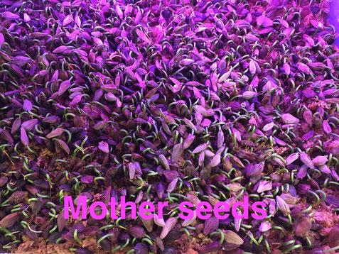 Germination, white mangrove, Laguncularia racemosa, palétuvier blanc